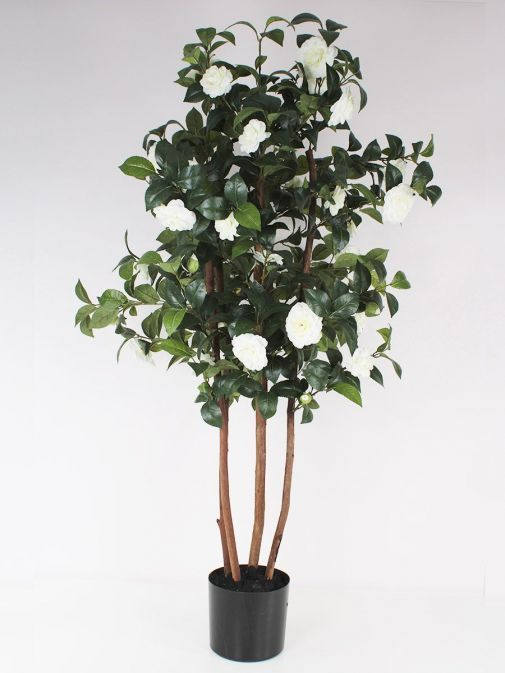 Front shot of the Ornamental White Camelia Tree in Black Pot