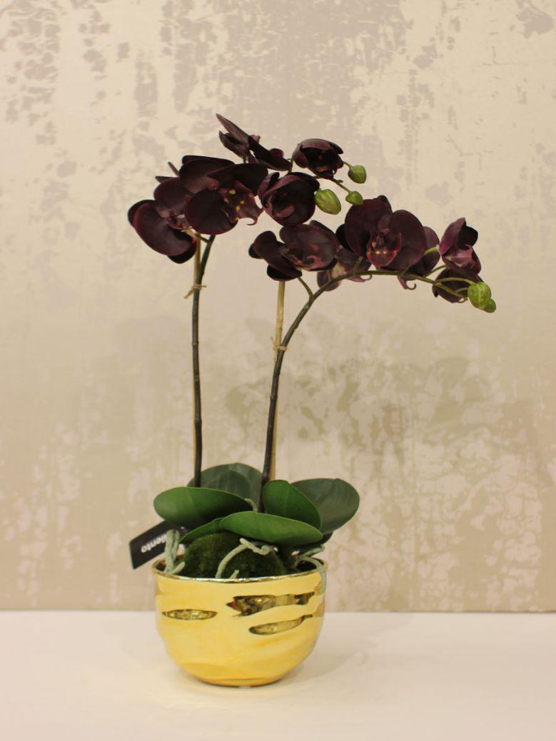 Aubergine Orchid Phalaenopsis Plants in Gold Ceramic Pot